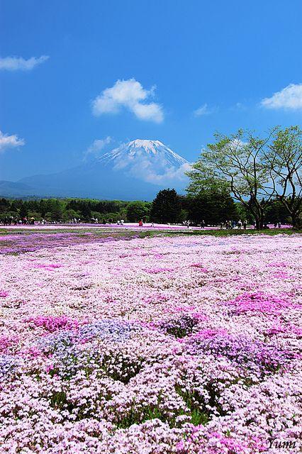 Mt. Fuji and pink field