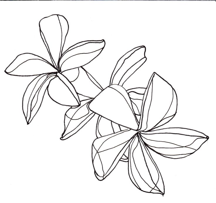 Line Art Flowers Tumblr : Plumeria flowers drawing imgkid the image kid