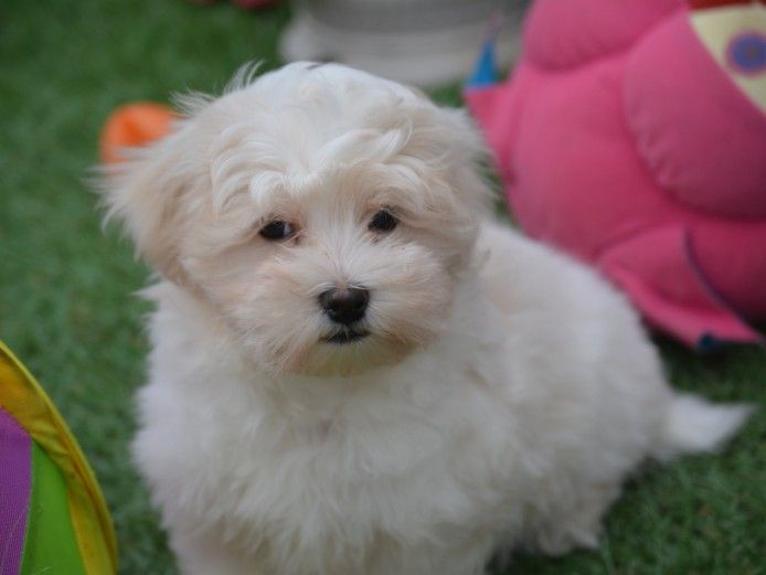 Maltipoo Puppies For Sale Maltipoo Puppies For Sale Maltipoo Puppy Puppies For Sale
