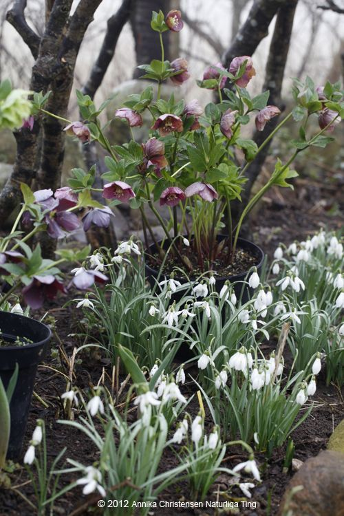 Hellebores and snowdrops: Nice combo! Wish I could ever get snowdrops to bloom!!