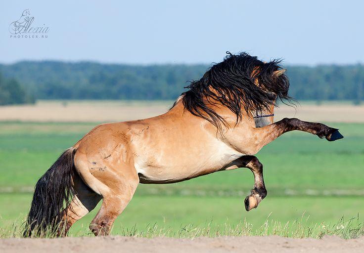 Pangare horse rearing | Pangare/ Mealy Coat | Pinterest