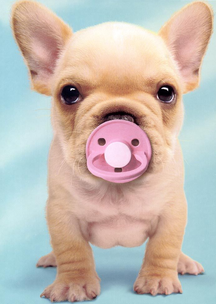 sweetest french bulldog puppy on earth [I know who it's a Cat Board but thats so cute, I no have words]