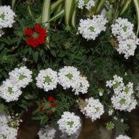 Werbena ogrodowa (Verbena hybrida)  Ta popularna roślina balkonowa, dorastająca do 70 cm wysokości, również odznacza się intensywnie pachnącymi kwiatami. Kwitnie od maja aż do październikach wytwarzając obfite kwiaty o różnej barwie zebrane w gęste grona.  Werbena wymaga słonecznych stanowisk i ma dość duże wymagania wodne. Najlepiej rośnie na przepuszczalnych, lekko wilgotnych podłożach