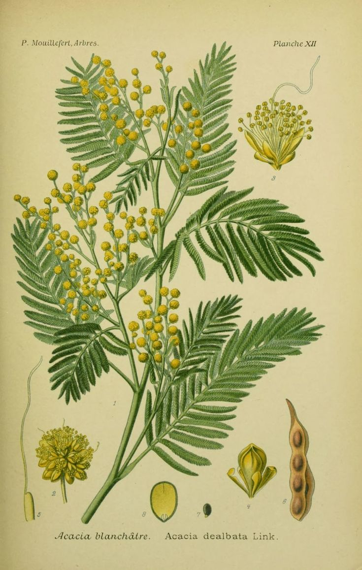 THE MIMOSA TREE - Acacia dealbata |The Garden of Eaden