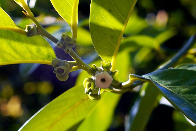Black Sapote Tree