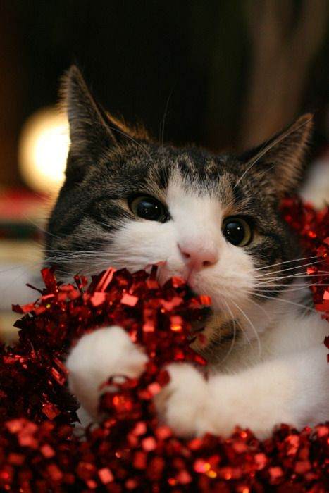 Christmas cat--Don't let your cat play with ribbon.  They eat it and it could kill them. A friend just paid $800 for surgery to remove ribbon her cat had swallowed.