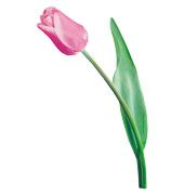 Lenagold - Клипарт - Розовые тюльпаны