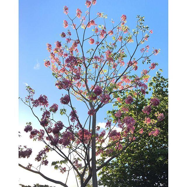 【nandahikari】さんのInstagramをピンしています。 《もう少しブラジルの春が来るから、イペの花がもう咲いて始まった。イペっていう木はブラジルで有名だし、花の色がたくさんあります。これは大学のイペ、ピンクの花だから、私にとってブラジルの桜みたいです。桜といえば、見たことがないから、本当の桜を見る気持ちはあんまり分かんないですが、多分イペの花を見ると、気持ちが少し分かると思います。 A primavera está chegando no Brasil e as flores de ipê já começaram a brotar. Ipê é uma árvore bem comum e as suas flores possuem diversas cores. Essa foto, eu tirei lá na faculdade e todo ano acabo tirando as mesmas fotos rs. Como essas flores de ipê são rosas, elas acabam me lembrando as…