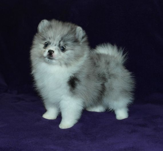 Chico Is A Male Pomeranian Puppy For Sale At Puppyspot Call Us Today To Learn More Reference 615737 When Y In 2020 Pomeranian Puppy For Sale Pomeranian Puppy Puppies