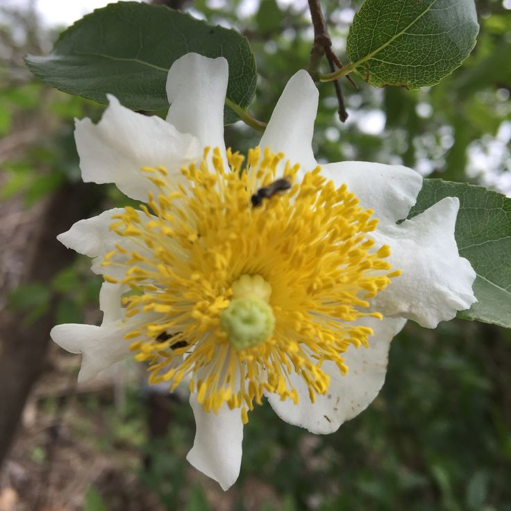 The delightful Oncoba spinosa (Snuff-box tree)