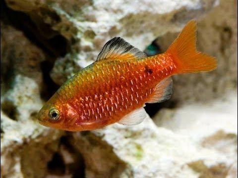Аквариумная рыбка Барбус огненный, Puntius conchonius