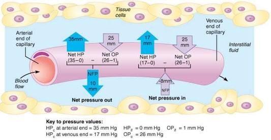 Image result for hydrostatic pressure oncotic pressure