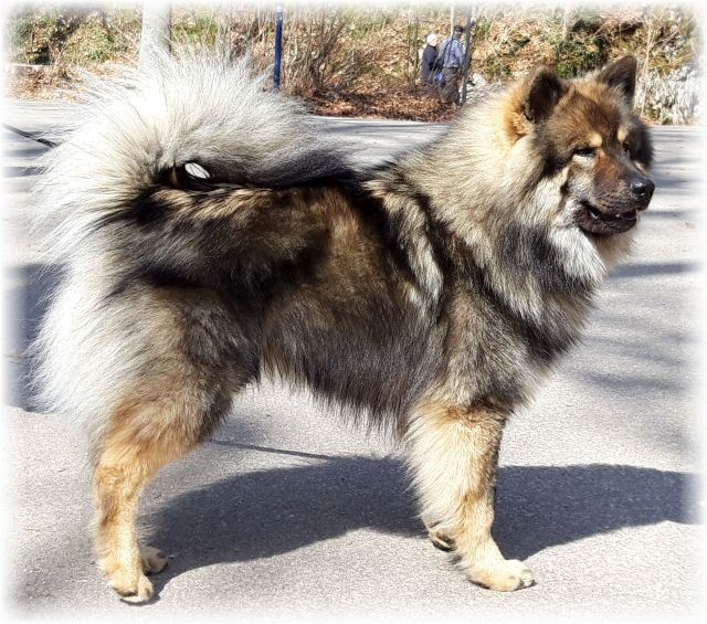 Pin Von Susan Sanderson Auf Eurasiers In 2020 Eurasier Hund Eurasier Hunderassen