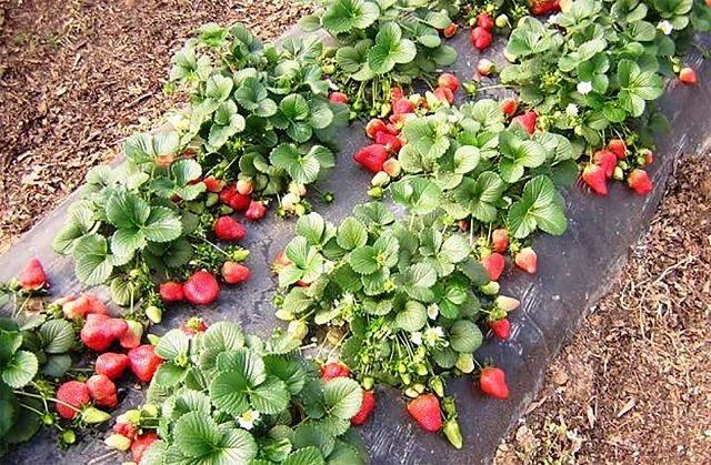 Ha több éven keresztül, ugyanazon helyen termesztünk epret, idővel a talaj tápanyag tartalma kiürül, így eprekből is kevesebb és apróbb fog teremni. Azt is meg kell említeni, hogy nem csak a tápanyaghiány okozhat problémát, hanem a kórokozók elterjedése is, így ezt megelőzendő, az eper ültetvényt 3 évente más helyre kell telepíteni. Azonban a telepítés nem […]