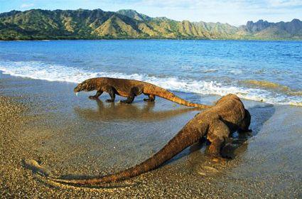Komodo Island are the largestlizards in the world, the Komodo dragons (Varanuskomodoensis).