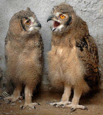 Owl by Shailendra Pandey: Haha! #Owl #Shailendra_Pandey
