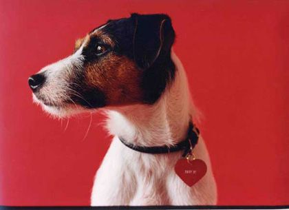 Tillamook Cheddar is a Jack Russell Terrier from Brooklyn, New York. Widely regarded as the world's preeminent canine artist, she has had twenty solo exhibitions in the U.S. and Europe. Tillie is eleven years old.
