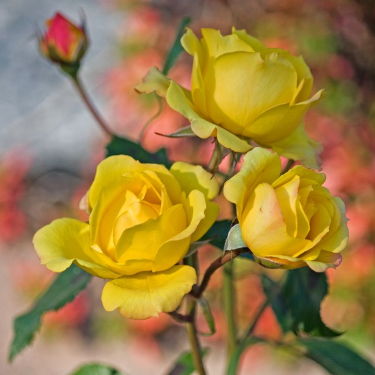 Yellow Roses, Keltaiset Ruusut by Aili Alaiso, Finland