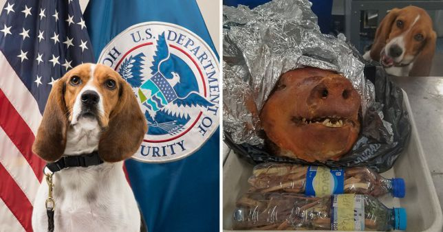 Very Proud Police Dog Finds Illegal Roast Pig Head In Traveller S