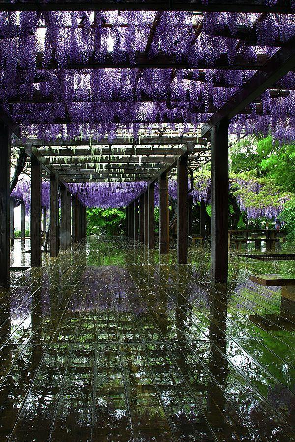 Wisteria pathway at Toba, Kyoto, Japan