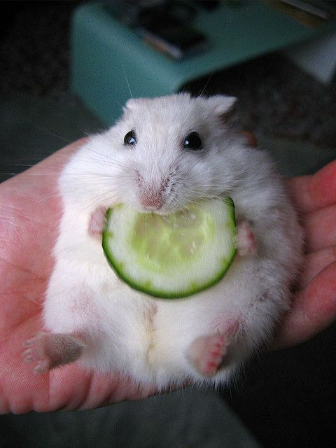 He is so fat and rollie pollie and eating a cucumber and a hamster and... and... the CUTEST LITTLE GUY EVAR!!!!!!!!!!!!