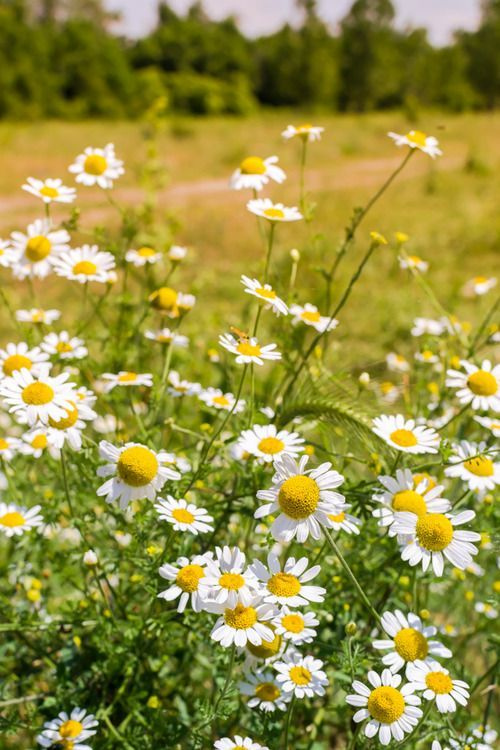 best 25 daisy field ideas on pinterest field of daisies