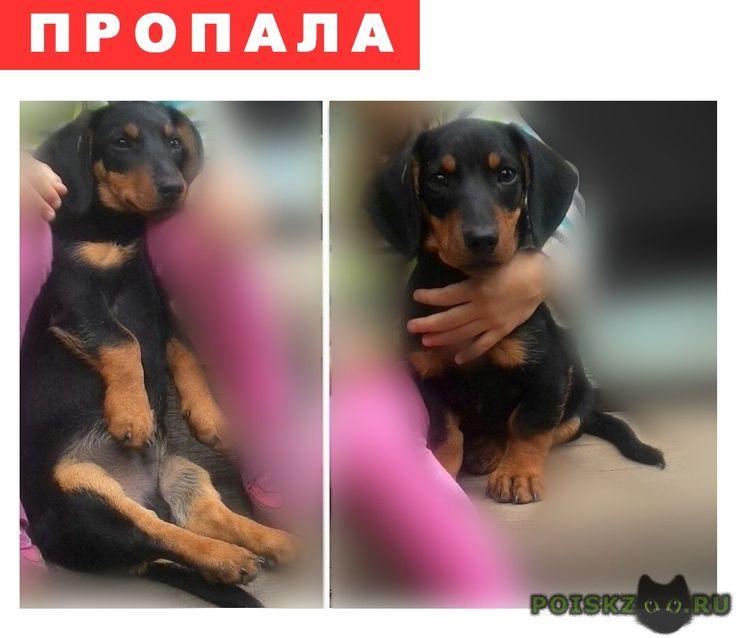 Пропала собака кобель щенок таксы г.Маркс http://poiskzoo.ru/board/read23873.html  POISKZOO.RU/23873 Пропал щенок таксы, по улице Карла Маркса. Он еще маленький .. месяцев. Выбежал со двора ..  РЕПОСТ! @POISKZOO2 #POISKZOO.RU #Пропала #собака #Пропала_собака #ПропалаСобака #Маркс