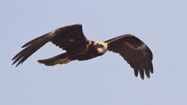 """""""Marsh Harrier one of my favorite birds of prey"""" Andrew Adams (@milehampics)"""