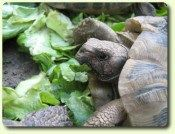 alimentation tortue