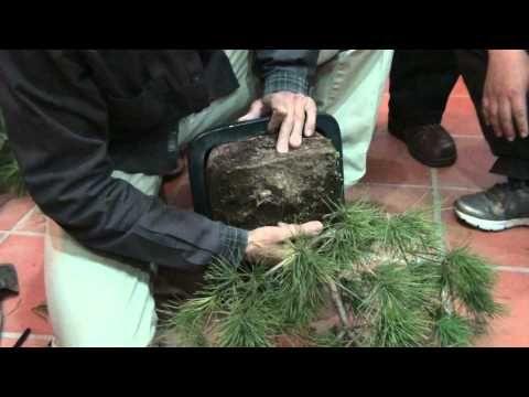 劉老師Lizika Liu-(第一步--將五葉松小心取出)-示範五葉松盆栽的換盆與土壤 - YouTube