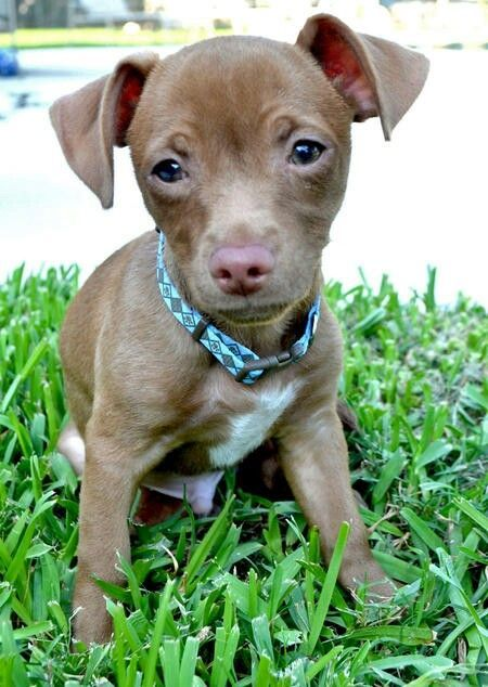 Pitbull Chihuahua Mix ...