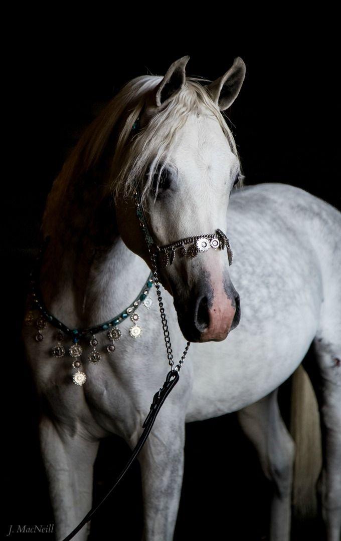 Arabian Horse - Amer Azhaar - Jennifer MacNeill Photography