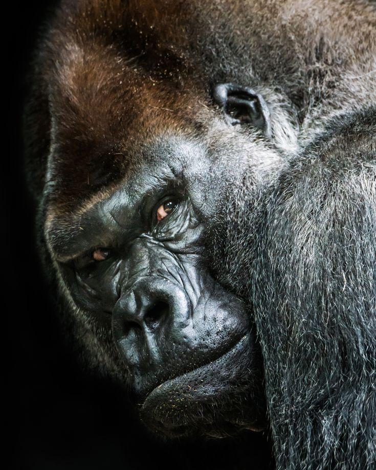 Western Lowland Gorilla by Abeselom Zerit on 500px