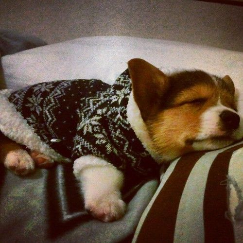 Baby corgi in a tiny sweater!?