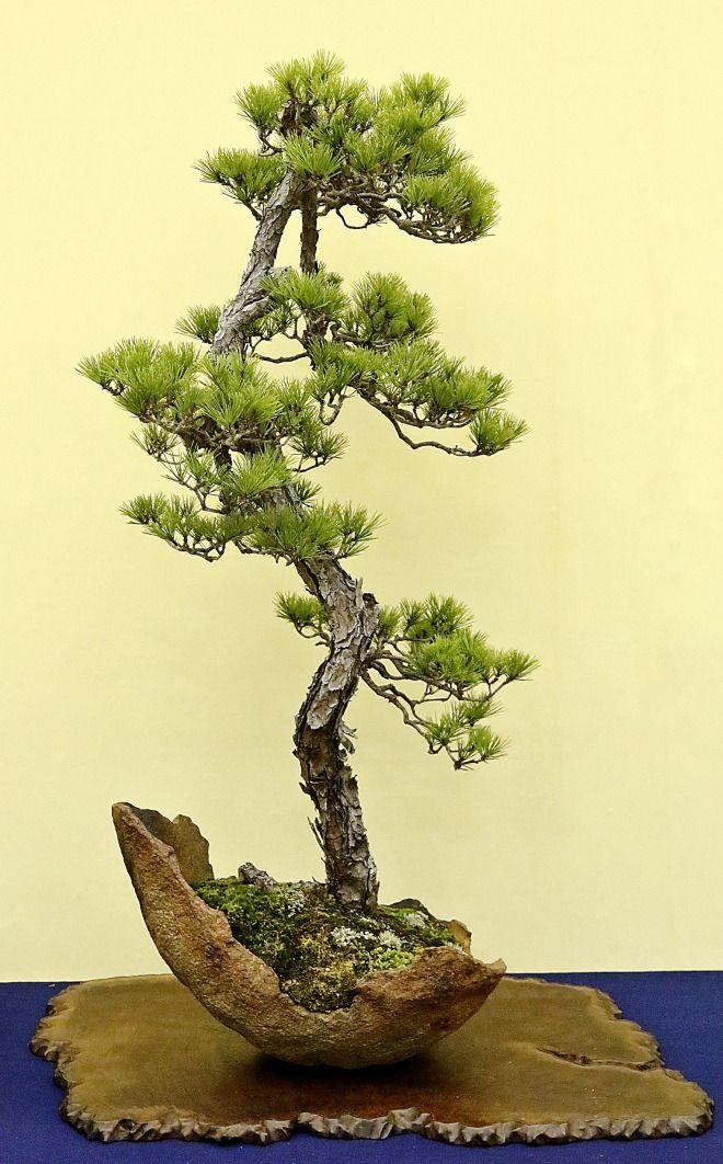 50 best literati bonsai images on pinterest bonsai for Literati bonsai gallery