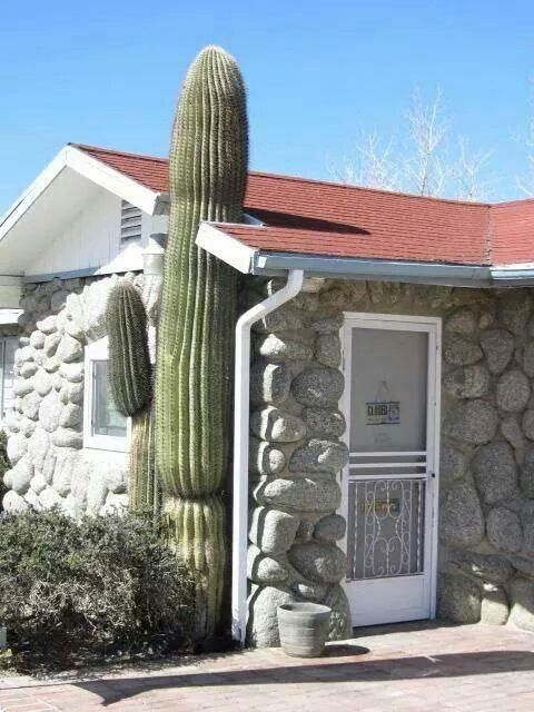 The question is.... did they build the house around the cactus? Or, did they change the roof when the cactus grew up to it?