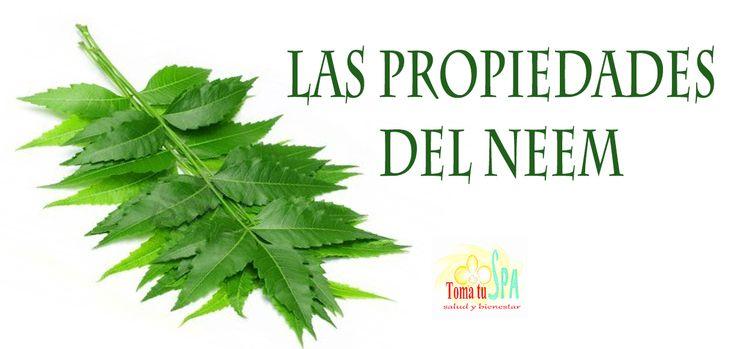 ✮ Los beneficios de Neem ✮ #Plantas #Natural #Neem #Beneficios #TomaTuSpa El árbol de neem o nim tiene muchas propiedades conocidas y ha sido utlizado para tratar una gran variedad de padecimientos. Entre las propiedades que posee y sus usos destacan..