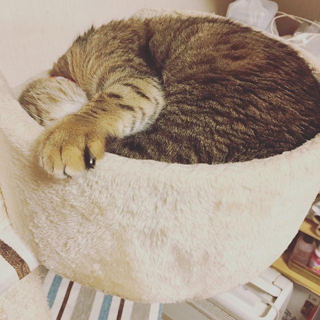 その手の位置は何なのだろうか…(笑) いつも何かしら変な行動を取るお姫ちゃんでございます(笑)😂 我が家のムードメーカー♥️ #愛猫#ねこすたぐらむ#にゃんすたぐらむ#ニャンコ#ねこ#手#変な子#不思議ちゃん#ムードメーカー#天使#癒し#笑顔にしてくれる#ベンガル#ベンガル猫#まん丸ベンガル#cat#catInstagram#petcat#✋#myangel #sleepingcat#bengal #bengalinstagram #bengalcatsofinstagram