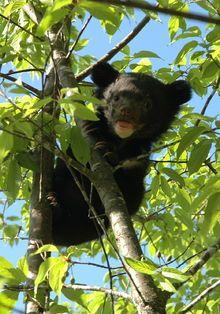 Asian black bear - Wikipedia, the free encyclopedia