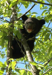 Asian black bear - Wikipedia, the free encyclopedia
