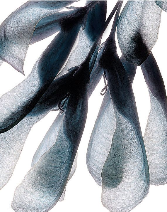 Boxelder Maple Seeds (IV), 8 x 10, Contemporary Botanical Nature Print - desaturated blue and gray image