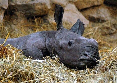 cucciolo di rinoceronte