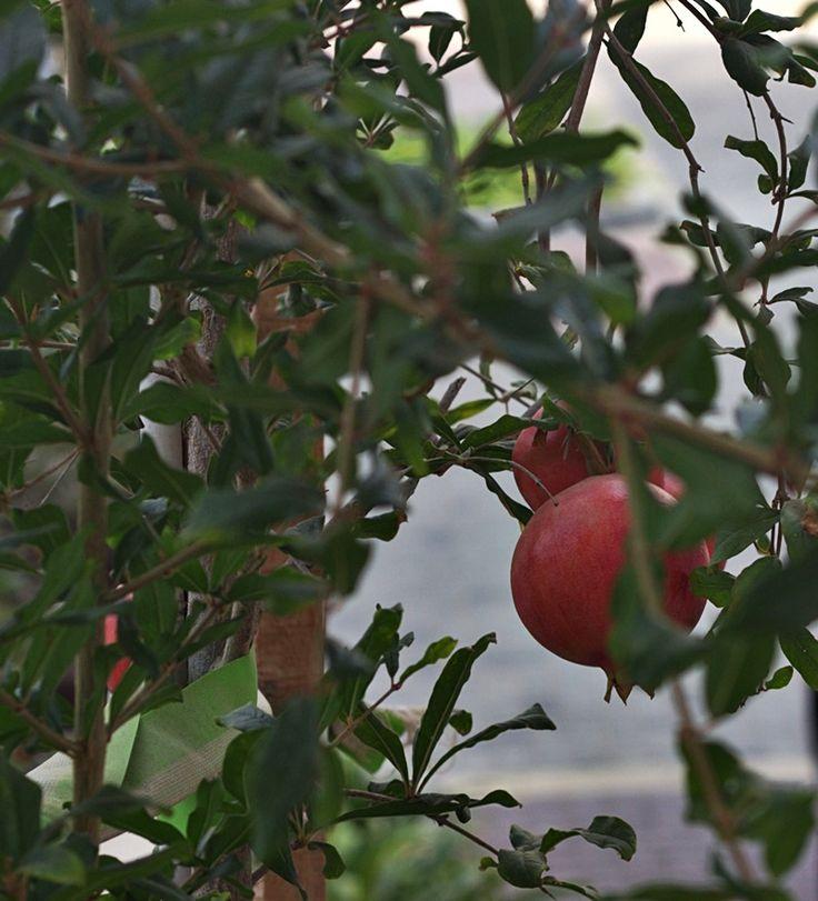 The pomegranates have ripened