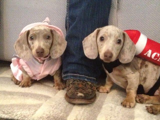 Mini Daschund Puppy Dressed As Hot Dogs