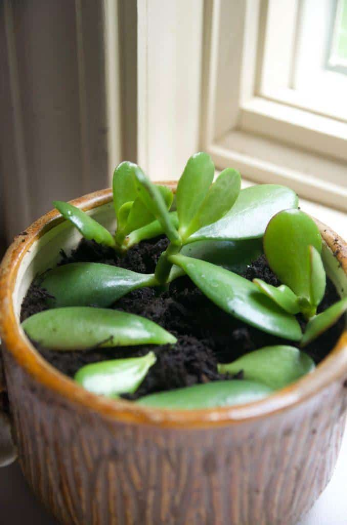 How To Prune A Jade To Get A Big Bushy Plant With Photos Jade Plant Pruning Jade Plant Care Jade Plants