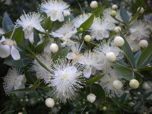 Μυρτιά. Κλασικοί τυπικοί αειθαλείς θάμνοι της Μεσογειακής χλωρίδας. Πρόκειται για όμορφα φυτά, μέτριας ανάπτυξης, που το ύψος τους φτάνει τα 2-3 m. Το σχήμα τους είναι θαμνώδες και συμπαγές και μπορούν να ευδοκιμήσουν σε όλους τους τύπους εδαφών αλλά και σε σκιερά ή ημισκιερά μέρη.    Καλλωπιστικοί θάμνοι - Φυταγορά Σερρών
