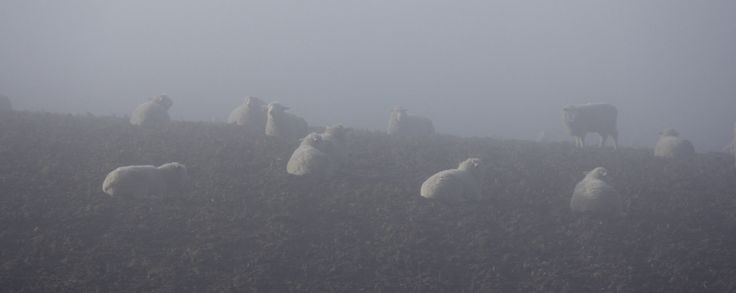 https://flic.kr/p/oX2zWW   Sheep in the Fog   A mob of young sheep wait for the sun to break through the fog.