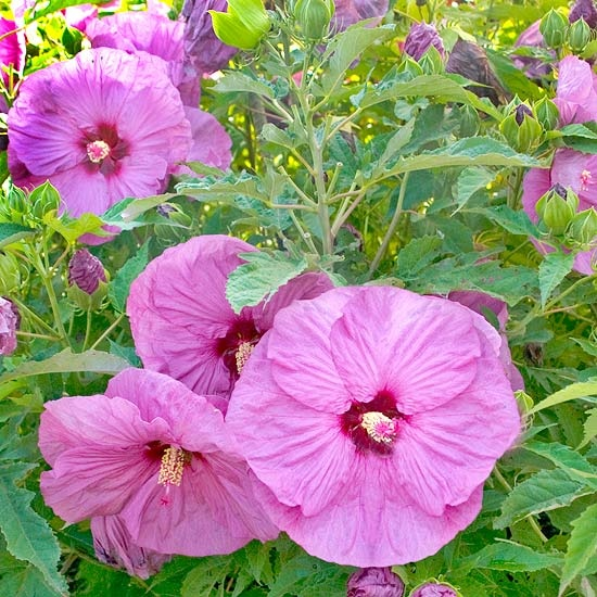 'Berrylicious' Hardy HibiscusBerrylici Hibiscus, Hibiscus Berrylici, Hardy Hibiscus, Growing Conditioning, Gardens, Beautiful Hibiscus, Perennials Hibiscus, Growing Perennials, Flower