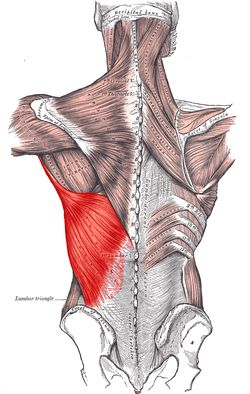 The latissimus dorsi (latissimus meaning 'broadest' and dorsum meaning the back), is the larger, flat, dorso-lateral muscle on the trunk, posterior to the arm, and partly covered by the trapezius on its median dorsal region. It is responsible for extension, adduction, transverse extension also known as horizontal abduction, flexion from an extended position, and (medial) internal rotation of the shoulder joint. It also has a synergistic role in extension and lateral flexion of the lumbar…