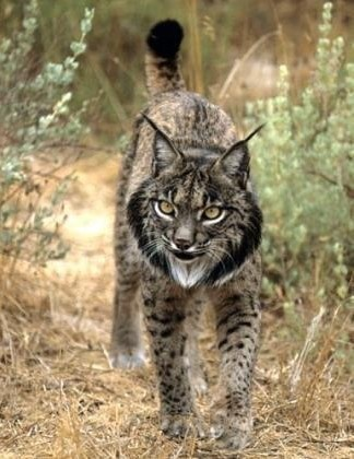 Iberian lynx, brought back from the brink of extinction by a team of dedicated biologists in Spain